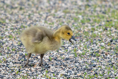 Gosling (jmishefske) Tags: gosling nikon nature d500 center whitnall milwaukee franklin wisconsin bird wehr park canada baby may goose 2019