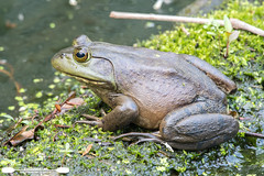 Another Bullfrog On A Log (freshairphoto) Tags: frog bullfrog log moss water canal wildwood lake park towpath trail harrisburg pa art spearing nikon amphibian d500 200500 zoom handheld