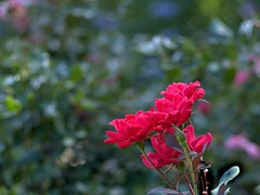 P5221049 -1R (hyphy2008) Tags: pentax da 70mm f24 flower garden bokeh rose