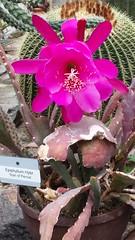 Epiphyllum hybrid (sftrajan) Tags: desertplants greenhouse epiphyllum hybrid cactus munich hothouse cactusflower pink serre gewächshaus botanischergartenmünchennymphenburg munichbotanicgarden conservatory münchen germany 2019 теплица оранжерея