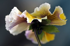 7DWF....Flora (Sue Armsby) Tags: flowers flora fragrant fleur garden outdoors outside pretty petals pansy leaves stem 7dwf macromademoiselle beautifulrealm armsbysue