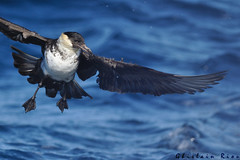 Labbe pomarin (ghisr) Tags: labbe pomarin pomarine skua oiseau pélagique spatule immature vol