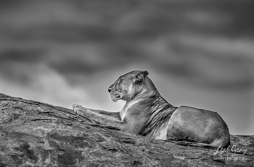 """Lioness Repose • <a style=""""font-size:0.8em;"""" href=""""http://www.flickr.com/photos/106269596@N05/41705709332/"""" target=""""_blank"""">View on Flickr</a>"""