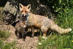 Renard - Fox (Daniel SALTZMANN) Tags: daniel saltzmann wild wildlife forest alsace vosges fox renard red