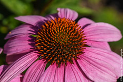 850_1049.jpg (Snapping Beauty) Tags: garden summer flowers pink daisy bloom floral nature 2018 years vibrantcolor natural abstract day petal background nopeople seasons peace stills virginia beautyinnature photography clean colors publicpark horizontal places organic esp