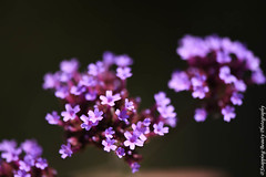 850_1087.jpg (Snapping Beauty) Tags: floral purple bloom flowers garden nature 2018 years vibrantcolor natural abstract day petal background seasons summer peace stills virginia beautyinnature nopeople photography clean colors publicpark horizontal places organic esp