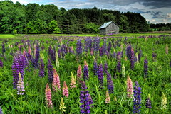 Lupines in Meadow (Tom Mortenson) Tags: wildflowers lupines wisconsin usa geotagged logbarn america northamerica northernwisconsin langladecounty field colorful pastelcolors deerbrook deerbrockwisconsin country countryside landscape scenic scenery floral midwest hdr photomatix northwoods rural canon canon6d canoneos 1740l digital logbuilding colour lupinusperennis logstructure plants nature blooms fieldofflowers centralwisconsin lupinuspolyphylius langladecountywisconsin picturesque