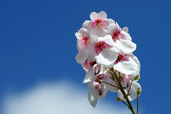 For 7DWF (Sue Armsby) Tags: flora flowers fragrant foliage fleur garden sunshine sky blue outdoors outside clouds white pink pretty petals stem 7dwf armsbysue