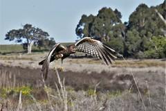 Spotted Harrier (James_Preece) Tags: spottedharrier accipitridae m43 circusassimilis panasonicdmcgx8 le leicadgvarioelmarit1260f2840