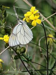 Pieride del biancospino (aporia crataegi) (Paolo Bertini) Tags: farfalla butterfly verona monte san marco caprino veronese aporia crataegi pieride biancospino