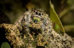 Jumper (Ronda Hamm) Tags: 100l 7dii animal arachnid arthropod canon closeup eyes hair jumpingspider macro nature spider