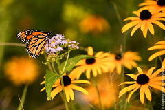 850_1519-Edit.jpg (Snapping Beauty) Tags: publicpark natural flowers nature flower abstract day insects orange nopeople beautyinnature butterfly horizontal colors virginia naturewildlife floral bloom yellow places petal daisy esp
