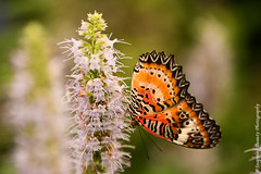850_1573.jpg (Snapping Beauty) Tags: publicpark natural day virginia butterfly nature selectivefocus abstract naturewildlife insects beautyinnature horizontal places nopeople colors orange esp