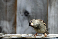 Hello Mr Sparrow (Sue Armsby) Tags: sparrow garden outdoors outside wood bird feathers wings wild armsbysue
