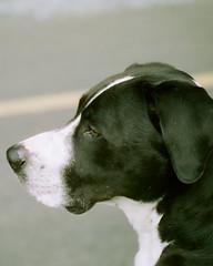 profile (stevebanfield) Tags: flickr leica cinestill film scan instagram dog dogs pets portrait profile color