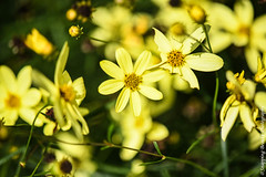 850_1108.jpg (Snapping Beauty) Tags: floral summer garden bloom flowers yellow nature 2018 years vibrantcolor natural abstract day petal background seasons peace stills virginia beautyinnature nopeople photography clean colors publicpark horizontal places organic esp