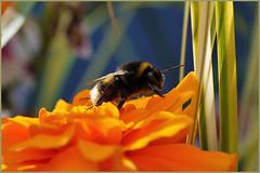 7DWF...Fauna (Sue Armsby) Tags: smileonsaturday uniflona bumblebee flora fragrant leaves garden outdoors outside dof bokeh blue marigold orange green 7dwf fauna bee macro armsbysue