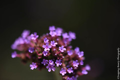 850_1088.jpg (Snapping Beauty) Tags: floral purple bloom flowers garden nature 2018 years vibrantcolor natural abstract day petal background seasons summer peace stills virginia beautyinnature nopeople photography clean colors publicpark horizontal places organic esp