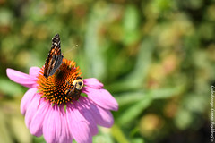 850_1156.jpg (Snapping Beauty) Tags: garden honeybee summer flowers pink nature daisy bloom insects floral 2018 publicpark vibrantcolor day clean seasons stills virginia colors green places years natural abstract background peace beautyinnature photography nopeople petal horizontal organic esp