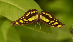850_1585-Edit.jpg (Snapping Beauty) Tags: publicpark natural virginia butterfly nature day abstract naturewildlife insects beautyinnature horizontal places nopeople colors green esp