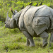 Great One-horned Rhinoceros with Great Mynas