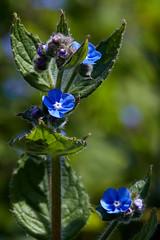 Pentaglottis sempervirens (Green Alkanet) (Hugh Knott) Tags: pentaglottissempervirens greenalkanet flora anglesey uk wales boraginaceae