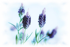Lavender..for 7DWF (Sue Armsby) Tags: flowers flora fabulousflowers fragrant foliage garden green outdoors outside lavender 7dwf white highkey blue purple armsbysue