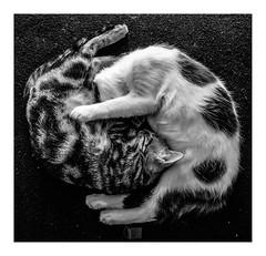 yin_yang (Luis kBAU) Tags: cats gatos yinyang