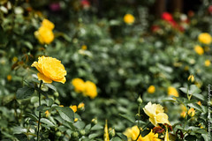 850_1634.jpg (Snapping Beauty) Tags: rose publicpark natural virginia nature day abstract naturewildlife beautyinnature flowers horizontal places nopeople colors yellow esp