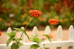 850_1642.jpg (Snapping Beauty) Tags: publicpark natural flowers nature flower abstract day zinnia orange nopeople things selectivefocus stills beautyinnature petal horizontal colors virginia naturewildlife floral bloom yellow places fence red esp