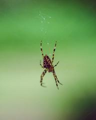 the webs we weave (stevebanfield) Tags: leica cinestill film scan flickr spider macro green web nature
