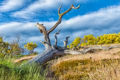 "Fallen Tree art (Picture-Perfect Pixels) Tags: earlysummer dry ""yellowflowers"" wild ""scotchbroom"" sooke vancouverisland nearpedderbay olddeadwood tree hill clouds ""puffy clouds"""