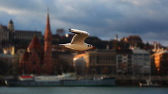 Fly through the air, live in the sunlight and enjoy life as much as you can! Happy 2019! (Michael Kalognomos) Tags: canoneos5dmarkiii ef24105mmf4l canon budapest hungary freedom free bird animal bokeh dof depthoffield colors seagull danubepromenade streetphotography urbanlandscape happynewyear landscape