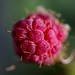 November Raspberry