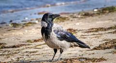hooded crow looking for shells (norbert.wegner) Tags: crow hoodedcrow nebelkrähe wildlife nature
