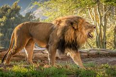 Morning Song (helenehoffman) Tags: pantheraleo bigcat conservationstatusvulnerable felidae sandiegozoosafaripark mammal lion cat lioncamp africa carnivore izu animal alittlebeauty coth coth5