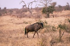 There's Something Behind You (thisbrokenwheel) Tags: lowersabie wildlifephotography wildlife herbivore wildebeest nature nationalpark krugernationalpark bluewildebeest antelope gnu travel naturereserve southafrica