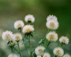 000053610035.jpg (stevebanfield) Tags: flickr leica cinestill film scan flower flowers plant flora