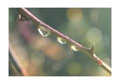 Macro Mondays : Balance (Tostaky2) Tags: macromondays macro dew rosée plant autumn automne goutte water droplet bokeh nature flora flore balance