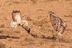 Get out of my space 1 (RDBImages) Tags: redtailedhawk northamericanbirds accipitridaehawkskiteseaglesandallies swainsonshawk vertabrateschordata animals eastern birdsclassaves