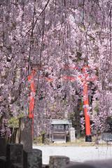 Mt Yoshino Sakura - Nara, Japan (inefekt69) Tags: japan sakura cherry blossoms flowers nature spring hanami nikon d5500 日本 さくら 桜 花見 yoshino mt nara 吉野山 奈良 吉野 tumblr