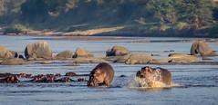 Racing Hippo (mary_hulett) Tags: africa river marariver wildlife hippo travel nature water photoworkshop serengetinationalpark tanzania park serengeti russburden animal