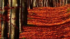 Herbst im Thüringer Wald (Autumn in the Thuringian Forest) (skruemel86) Tags: thüringer wald goldener herbst ilmenau blätter bäume holz weg märchenwald natur wanderweg gehölz forst laub baumrinde moos stein licht schatten thüringen sturmheide light shadow wood forest autumn tree trail leaves buche panasonic lumix fz82