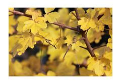 Yellow (PriscillaHernandez85) Tags: nature plant flora flore autumn france canon eos550d 70200 tamron yellow jaune leave feuilles