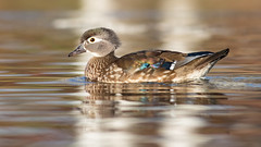 Wood Duck, Hen (Gary R Rogers) Tags: bird woodduck water lake wildlife nature bokeh goldcolor gold lowperspective animal pond wild closeup sideview outdoors horizontal hen colorphoto