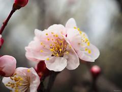 pink plum blossoms (Christine_S.) Tags: flowers blossoms olympus omd macro japan spring flower nature tree bokeh natureinfocusgroup ngc npc handheld closeup plumblossoms olympusem10markiii m30mmf35macro pinkflowers floralphotography