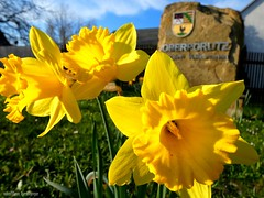 Frühlingsgruß (spring greeting) (skruemel86) Tags: frühling blume gelbe narzisse osterglocke märzenbecher trompetennarzisse osterglöckchen panasonic lumix fz82 thüringen ilmenau oberpörlitz