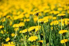 Couleurs du printemps (Croc'odile67) Tags: nikon d3300 sigma contemporary 18200dcoshsmc paysage landscape fleurs flowers nature campagne prairie printemps spring fruhling pissenlit
