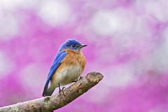 bluebird on purple (G_Anderson) Tags: missouri backyard birds birding spring bluebird