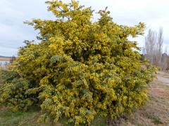 Acacia baileyana 5 (nbgact) Tags: australian national botanic gardens canberra act barry m ralley barrymralley dicotyledons